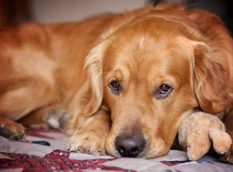 Тревожный ретривер: эта белоснежная собака спасла своего товарища от кошмаров!