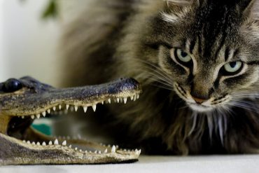 Cat-versus-alligator