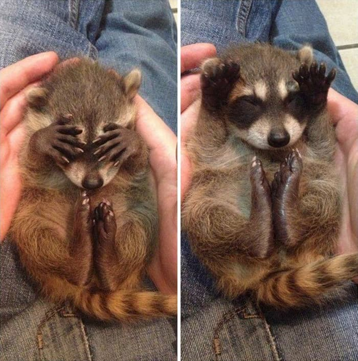 adorable-cute-raccoons-1-5956481087f38-png__700