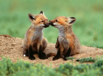 Хитрый рыжий незнакомец! 11 фактов о лисах, про которые ты не знаешь :)