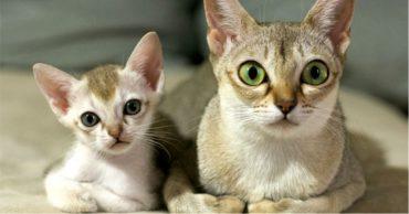 Сингапурская кошка (Singapura cat)