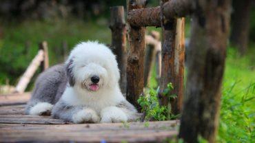 Староанглийская овчарка (Old English Sheepdog)