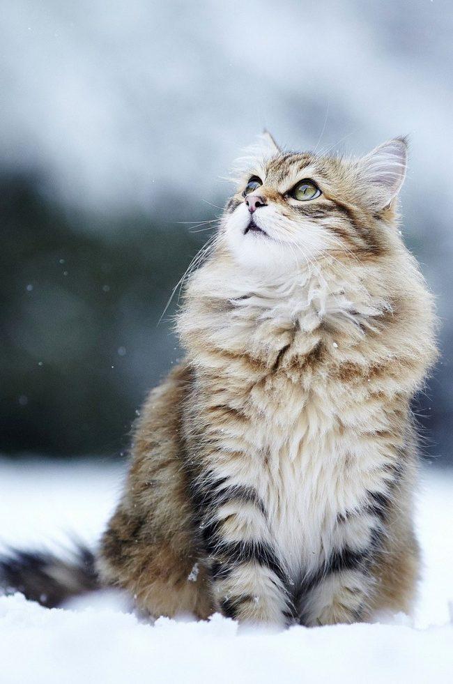 Норвежская лесная кошка (Norwegian Forest Cat)