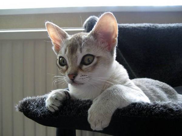 Сингапурская кошка (Singapura cat) 5