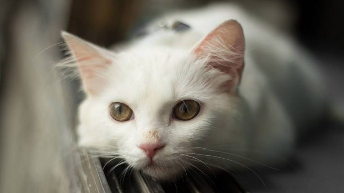1469972513_turkish-angora-cat-foto-1