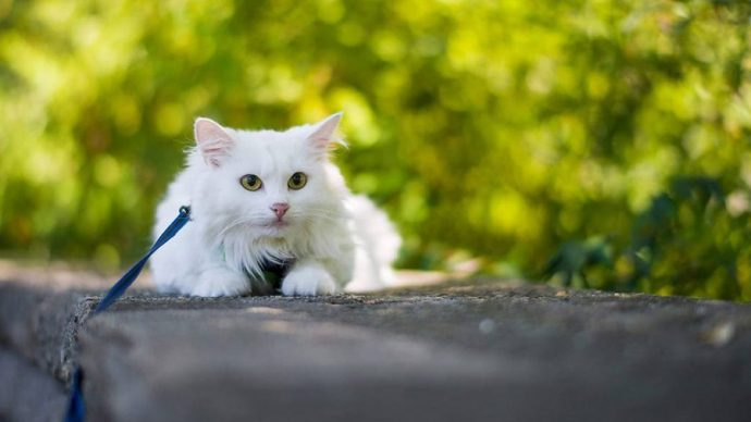 1469972570_turkish-angora-cat-foto-2
