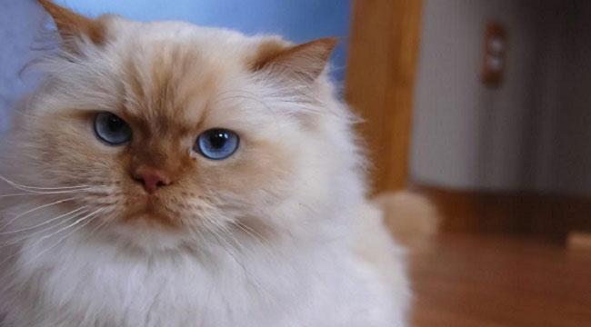 Гималайская кошка (Himalayan cat) 5