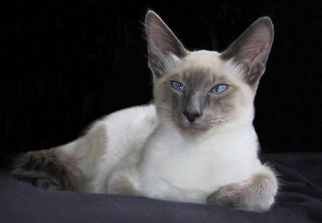 balinese-cat-2.jpg.pagespeed.ce.yy3c9RrKk7