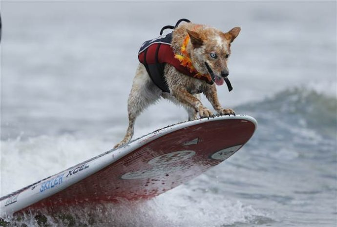 dog-surfing-today-170806-inline-05_677a39e938ebab2e078d55d20f2aec92.today-inline-large