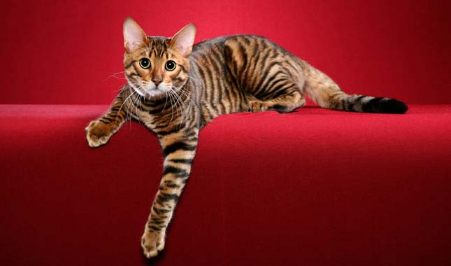 toyger-red