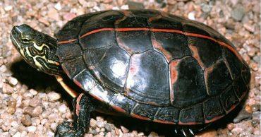 Североамериканская расписная черепаха: любимица американцев