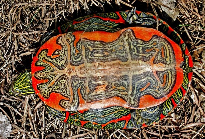 1024px-B4_Western_painted_turtle_underside
