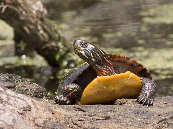 1024px-Painted_turtle