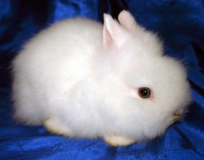Ангорский кролик порода