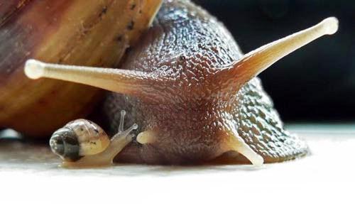 Ахатина фулика (Achatina fulica) 3