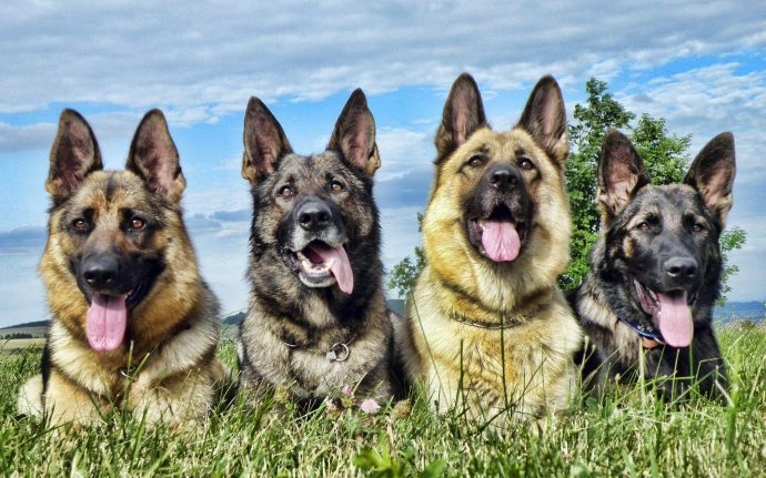 Animals___Dogs___German_shepherd_stuck_languages_054089_