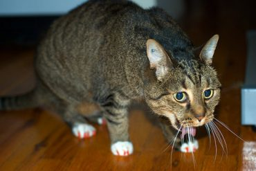 Cat frequent urination and vomiting