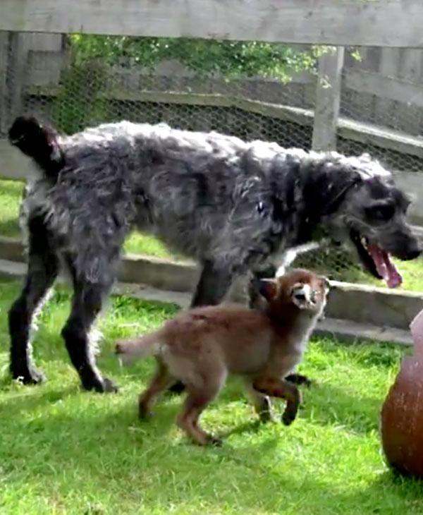 cute-fox-and-hound