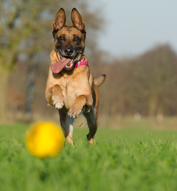malinois-with-ball-662719_640