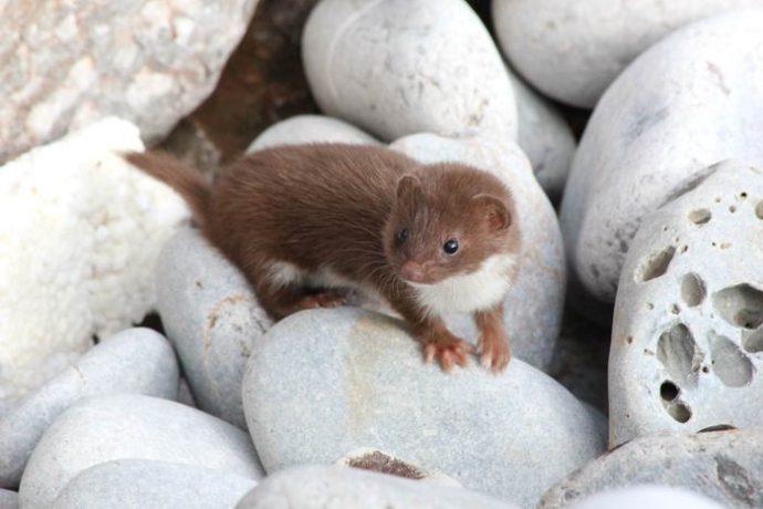 Ласка обыкновенная (Least weasel) 4