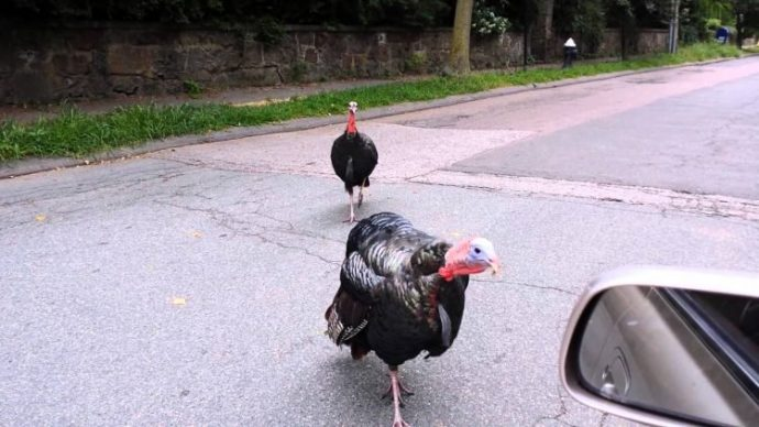 wild-turkeys-boston-750x422