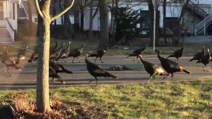 wild-turkeys-boston2-750x422