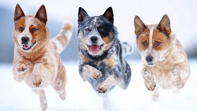 собаки-породы-Австралийский-хилер-min
