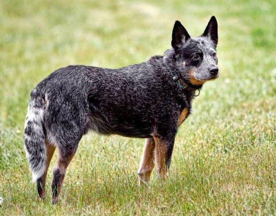 Австралийский хилер (Australian Cattle Dog) 5
