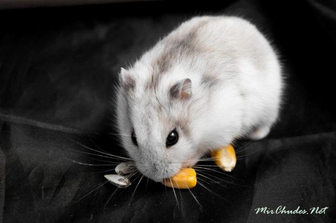Джунгарский хомяк (Djungarian hamster) 2