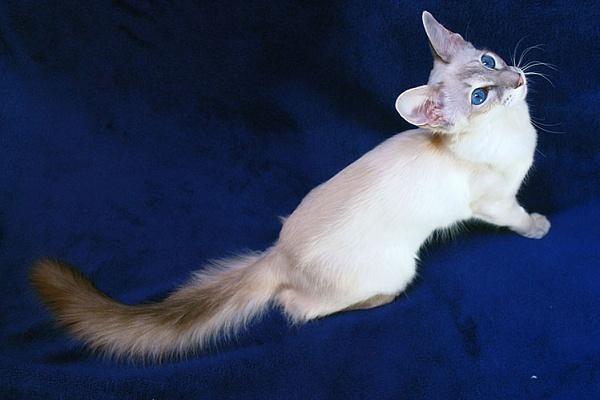 Яванская кошка (Javanese Cats) 2