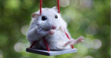 Джунгарский хомяк (Djungarian hamster)