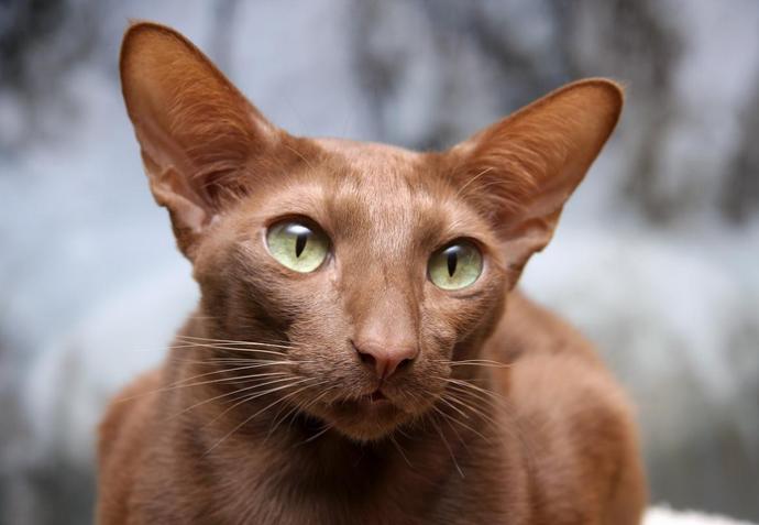 Яванская кошка (Javanese Cats) 5