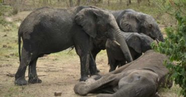 8-elephant-mother-and-her-grieving-children