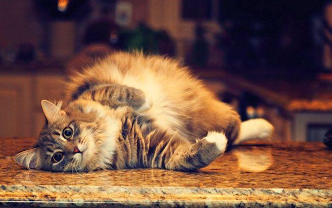 Pregnant_cat_06-650x408