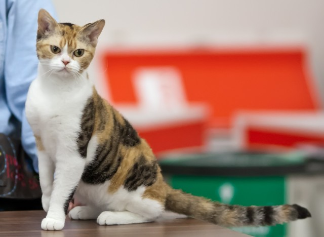 american-wirehair-cat