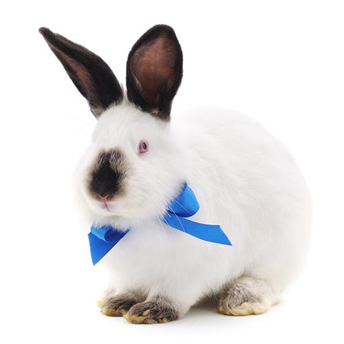 Калифорнийский кролик купить