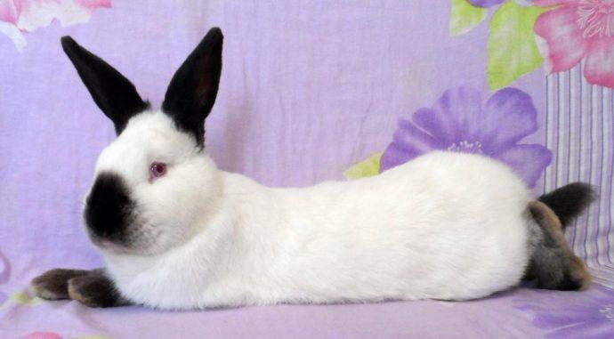 Калифорнийский кролик питание