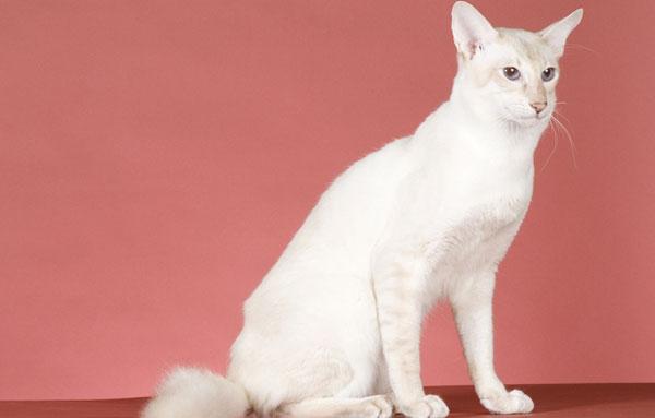Яванская кошка (Javanese Cats) 3