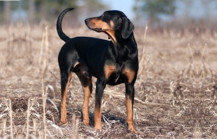 Названия-пород-охотничьих-собак-Австрийская-гончая