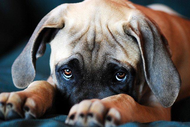 «Хозяин, я больше не буду!» О чём на самом деле говорит виноватый взгляд вашей собаки? Удивляйтесь! :) рис 3