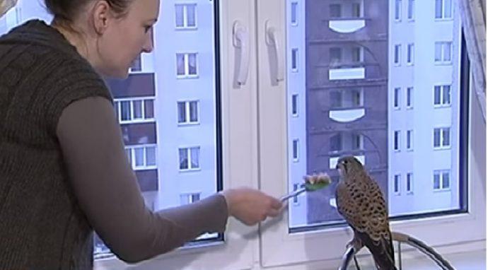 «Он прилетел за колбасой!» Как киевляне приручили своенравного сокола Буреветра ) рис 2