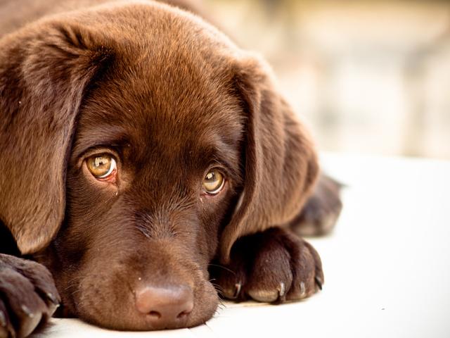 «Хозяин, я больше не буду!» О чём на самом деле говорит виноватый взгляд вашей собаки? Удивляйтесь! :) рис 2