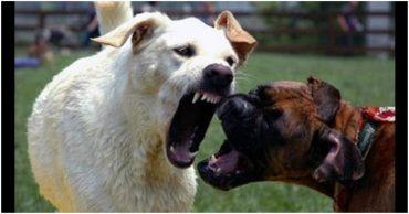 собаки в драке