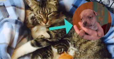 Кошка, котята и щенок - самая необычная семья! Кошка Гвен выкормила и вырастила щенка чихуахуа, который остался без мамы!