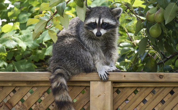 Енот-полоскун (Raccoon) 3