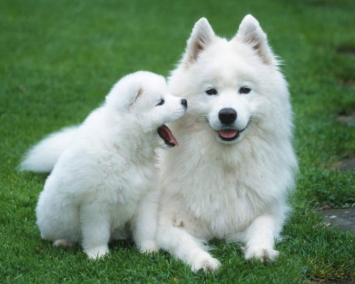 Samoyed-Dog-With-Puppy
