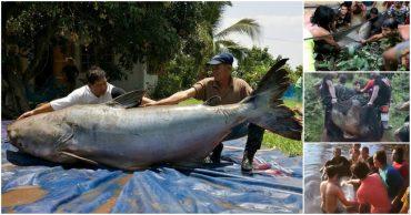 «Рыба моей мечты!» Жители Таиланда спасли самого огромного сома, которого вы когда-либо видели! :)