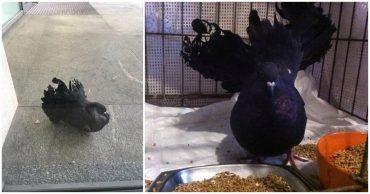 Волонтёр заметила в мусорке какое-то движение… Оказалось, там окопался свадебный голубь-павлин!