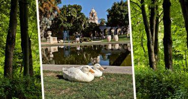 """""""Утки, пошли домой!"""" В парке люди заметили милую белоснежную пару, которая почему-то боялась воды..."""