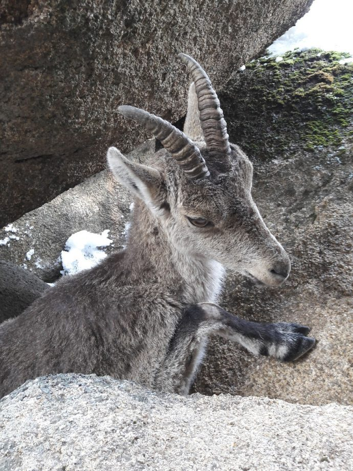We-saved-a-mountain-goat-that-was-stuck-hanging-in-the-air-by-its-horns-5a5dc1fd702a1__880